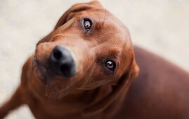 Redbone Coonhound dog breed