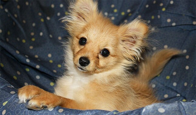 Pomapoo Dog Breed