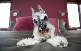 Miniature Schnauzer on Bed