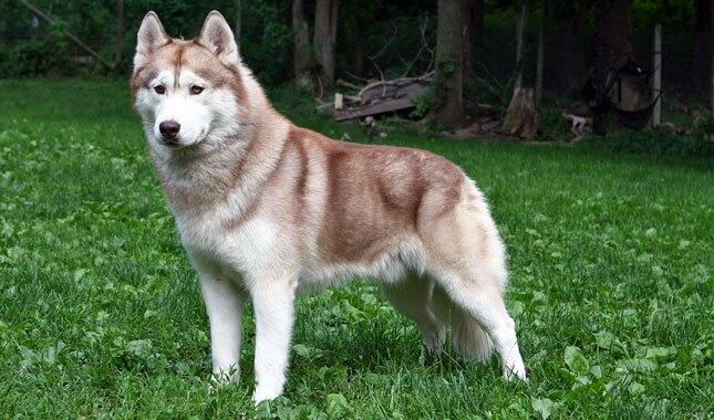 Siberian-Husky-4-645mk062811.jpg