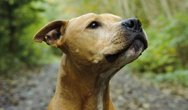 American Pit Bull Terrier Head Closeup
