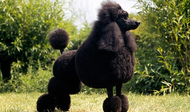 Poodle Breed Information