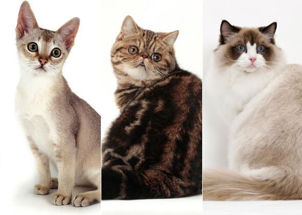Vetstreet S Ultimate Cat Breed Challenge