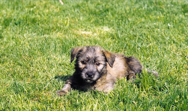Glen of imaal terrier breed information glen of imaal terrier puppy thecheapjerseys