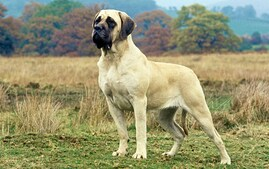Mastiff Standing in Field