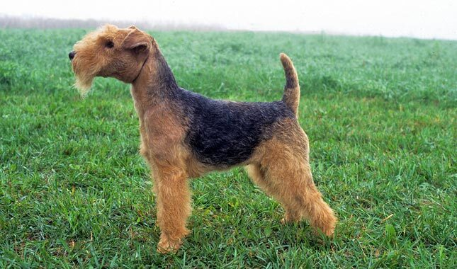 Lakeland Terrier Breed...