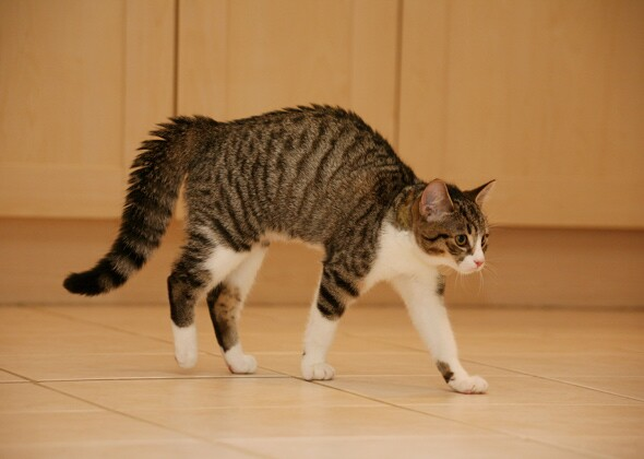 largest cat breed