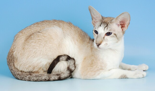 Oriental Shorthair on Blue Background