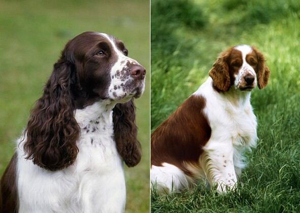 14 Look Alike Dog Breeds Can You Tell Them Apart