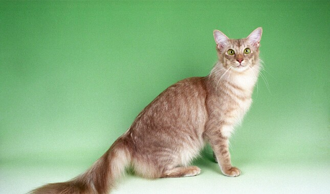 Caramel Shaded Javanese Cat