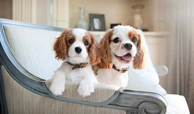Cavalier King Charles Spaniel Breed Information