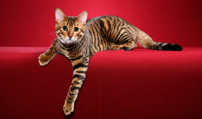 Toyger Cat on Red Background