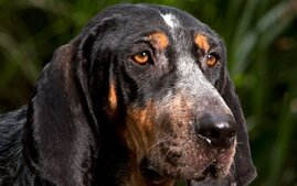 Bluetick Coonhound close up