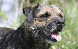 Closeup of Border Terrier dog breed