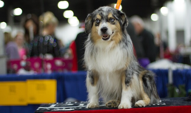 Miniature American Shepherd on show bench