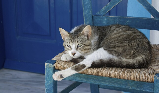 Aegean cat on a chair