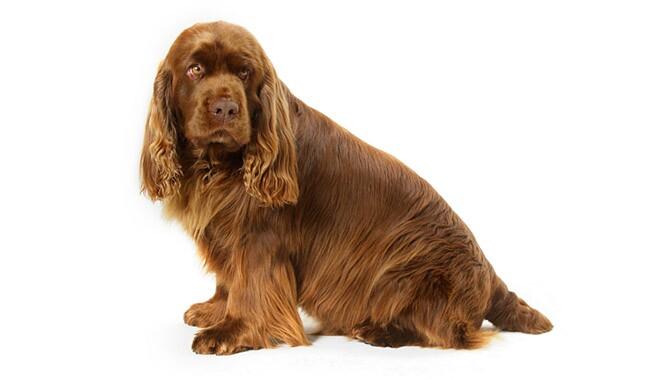 Sussex Spaniel Dog