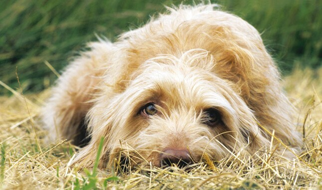 Wirehaired Vizsla Head in Grass and Hay