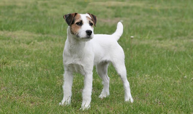 Adult jack russell terriers love how