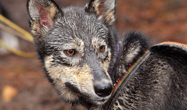 An Alaskan Husky's wet face