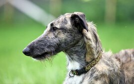 Longdog Dog Breed