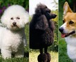 Small dog breed quiz