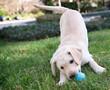 Yellow Labrador Retriever Puppy