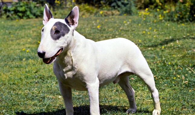 Bull Terrier Breed Information