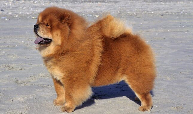 chow chow pomeranian mix chow chow breed information 6475
