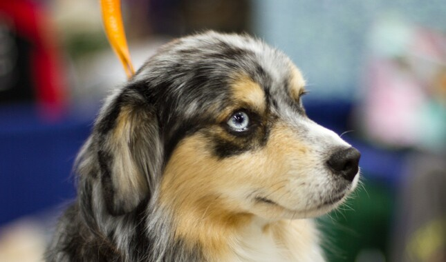 National Dog Show 2015 Behind the Scenes Miniature American Shepherd