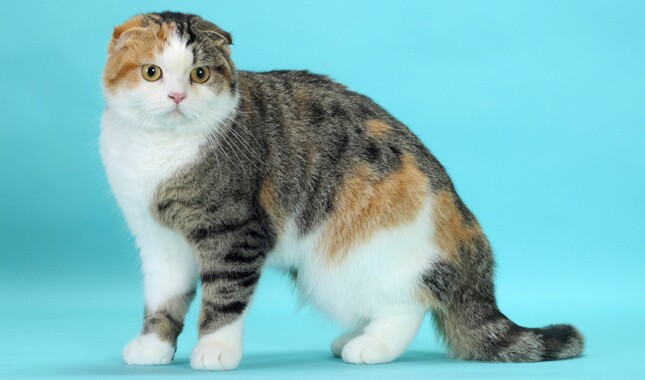 Scottish Fold on Blue Background