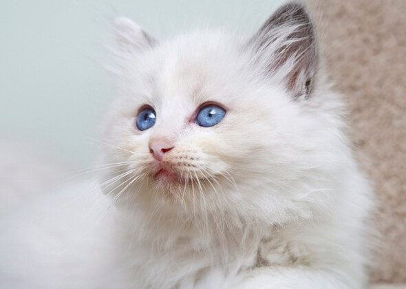 Beautiful Cats With Blue Eyes Photo Gallery
