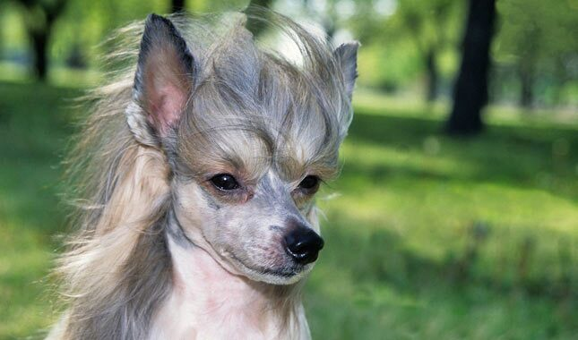 Chinese Crested Breed Information