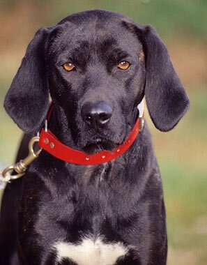 Plott Hound Dog Breed Information