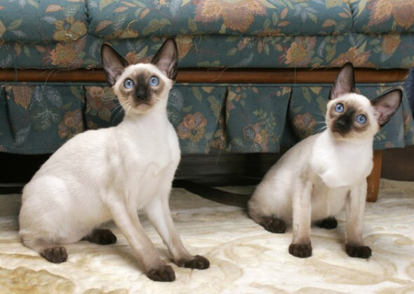 Cat Breeds That Don't ...
