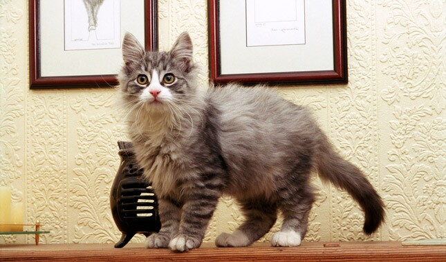 Norwegian Forest Cat kitten at home