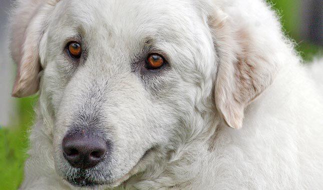 白警犬犬种