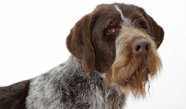 German Wirehaired Pointer dog