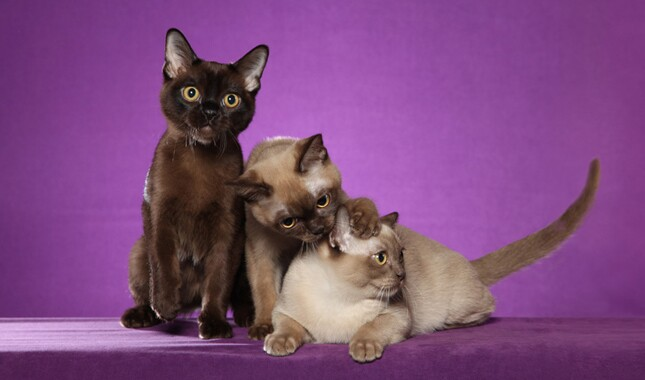 Three Burmese Cats on Purple Background