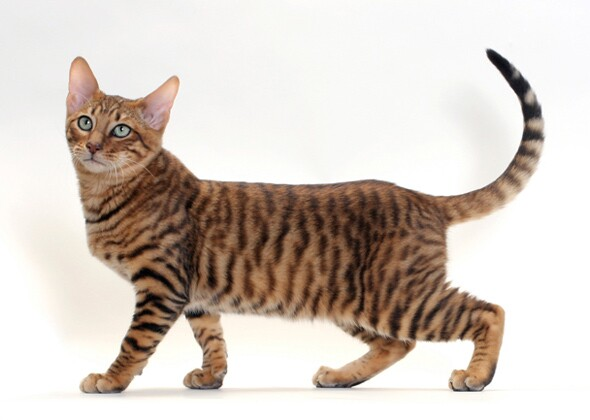 Gaelic Pet Names For Cats