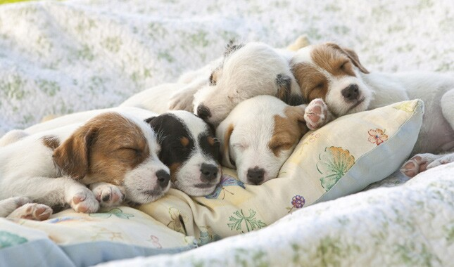 Jack Russell Terrier Puppies Sleeping