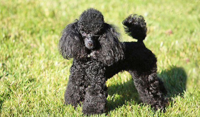 Toy Poodle Dog Breed Information