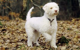 Lagotto Romagnolo in Autumn Leaves