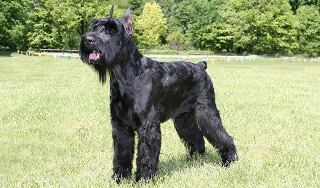 Medium Hair Big Dogs