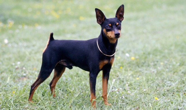 pinscher miniatura y diabetes