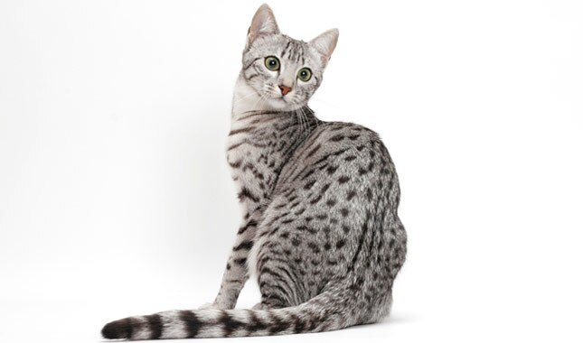 Image result for egyptian mau meaning