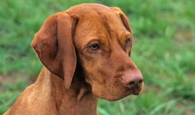 Dog Breed Vizsla Rescue