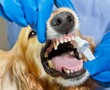 Dog getting teeth brushed