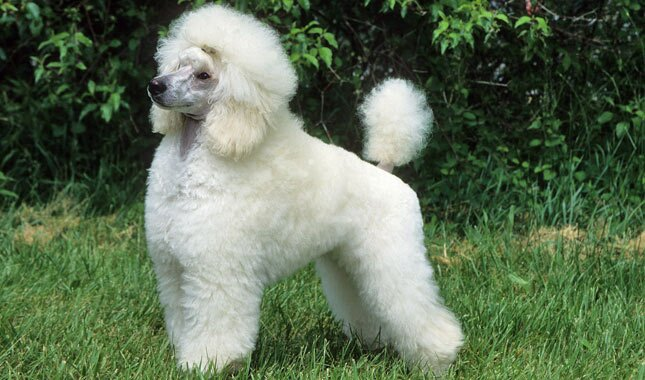 Pictures of adult miniture poodles