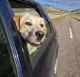 头伸出车窗的拉布拉多寻回犬